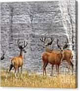 Bucks Abound Canvas Print
