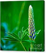 Bud And Leaf Of A Lupin Canvas Print