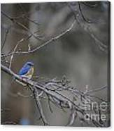 Budding Bluebird Canvas Print