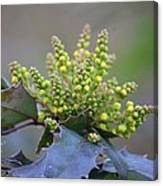 Budding Mahonia Canvas Print