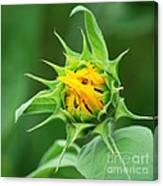 Budding Sunflower Canvas Print