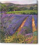 Buddleia And Lavender Field Montclus Canvas Print