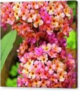 Buddleja Sp. Plant In Flower Canvas Print