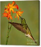 Buff-tailed Coronet Hummingbird No 1 Canvas Print
