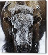 Buffalo #0057 Canvas Print