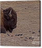 Buffalo And Birds   #2236 Canvas Print