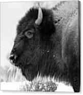 Buffalo Black And White Canvas Print