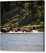 Buffalo Crossing - Yellowstone National Park - Wyoming Canvas Print