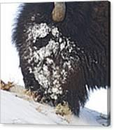 Buffalo Eating   #9634 Canvas Print