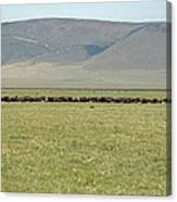 Buffalo Herd Canvas Print