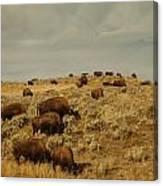 Buffalo On The Prairie Canvas Print