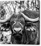 Buffalo Stare In Black And White Canvas Print