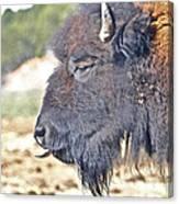 Buffalo Tongue Canvas Print