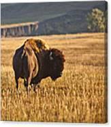 Buffalo Watching Canvas Print