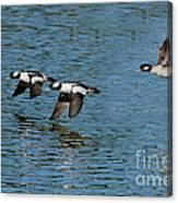 Bufflehead Duck Trio In Flight Canvas Print