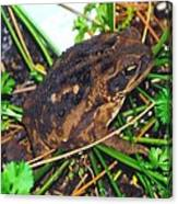 Bufo Toad Canvas Print