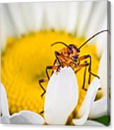 Bug On A Daisy Canvas Print