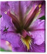 Buggy Iris Canvas Print