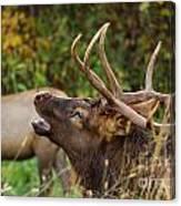 Bugling Bull Elk Canvas Print