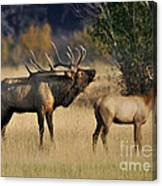 Bugling Elk With Calf Canvas Print