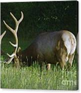 Bulking Up For The Rut Canvas Print