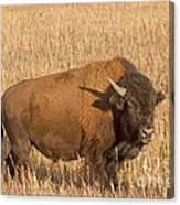 Bull Bison At The  Elk Ranch Grand Teton National Park Canvas Print