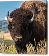 Bull Bison Canvas Print