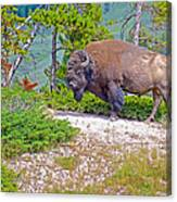 Bull Bison Near Mud Volcanoes In Yellowstone National Park-wyoming Canvas Print