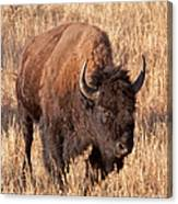 Bull Bison Running In Yellowstone National Park Canvas Print