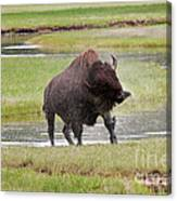 Bull Bison Shaking In Yellowstone National Park Canvas Print