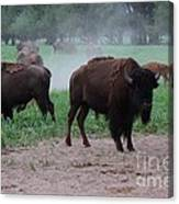 Bull Buffalo Guarding Herd With Green Grass Canvas Print