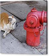 Bull Dog And The Fire Hydrant Standoff Canvas Print