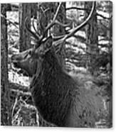 Bull Elk Bw Canvas Print