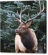Bull Elk By Blue Spruce Canvas Print