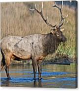 Bull Elk Crossing River Canvas Print
