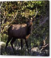 Bull Elk Crossing The Hailstone Canvas Print