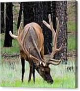 Bull Elk Grazing Canvas Print