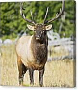 Bull Elk IIII Canvas Print