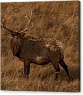 Bull Elk In Evening Light Canvas Print