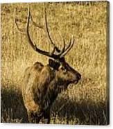 Bull Elk In Meadow Canvas Print