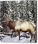 Bull Elk In The Woods Canvas Print