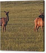 Bull Elk In Velvet With Cow   #5304 Canvas Print