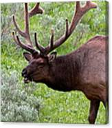 Bull Elk In Yellowstone Canvas Print