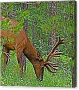 Bull Elk Near Maligne Canyon In Jasper Np-alberta Canvas Print