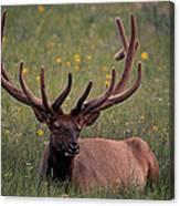 Bull Elk Resting Canvas Print