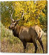 Bull Elk With Autumn Colors Canvas Print