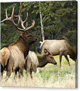 Bull Elk With His Harem Canvas Print