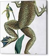Bull Frog Canvas Print