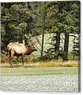 Bull In Waiting Canvas Print