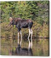 Bull Moose 3 Canvas Print